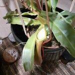 Nepenthes vieillardii 花