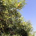 Thevetia peruviana List