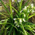 Allium triquetrum Flower