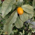 Fortunella japonica Feuille