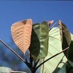 Macaranga denticulata