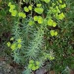 Euphorbia linifolia