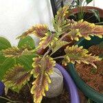 Plectranthus scutellarioides Blomma