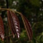 Aegiphila laevis