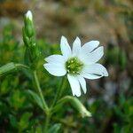 Cerastium argentinum