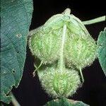 Dalechampia tiliifolia
