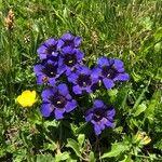 Gentiana alpina