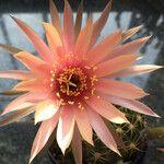 Echinopsis spp.