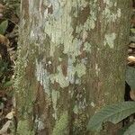 Pouteria hispida
