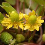Ranunculus cymbalaria