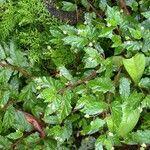 Begonia semiovata