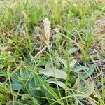 Carex vaginata