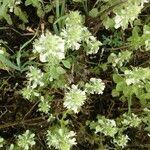 Teucrium polium Kvet