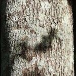 Persea caerulea Bark