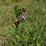 Vicia altissima