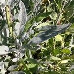 Salvia officinalis Foglia