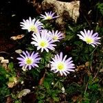 Anemone blanda Flor