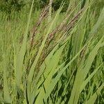 Calamagrostis canescens