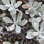 Helichrysum obconicum
