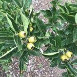 × Crataemespilus grandiflora