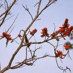 Erythrina senegalensis