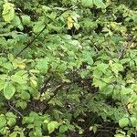 Lonicera chrysantha