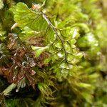 Hymenophyllum peltatum