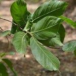 Sapranthus palanga