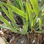 Iris germanica Õis