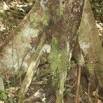 Protium cuneatum