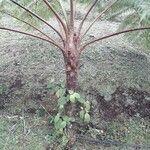 Cyathea arborea 樹皮
