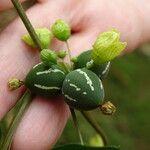 Diplocyclos palmatus Fruit