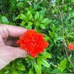 Punica granatum Pflanze
