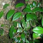 Codonanthopsis crassifolia