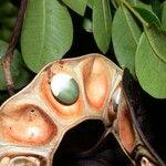 Abarema adenophora