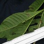 Hoffmannia asclepiadea