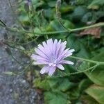 Lactuca macrophylla