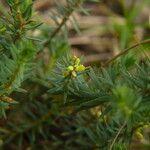 Thymelaea coridifolia