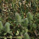 Trifolium sylvaticum