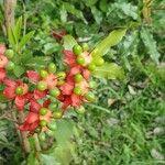 Ochnaceae