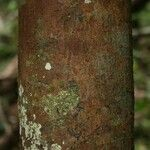 Garcinia benthamiana