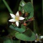 Triadenum virginicum