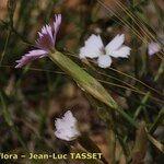 Dianthus charidemi