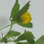 Medicago orbicularis
