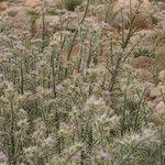 Carduus chevallieri