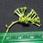 Myriopus maculatus