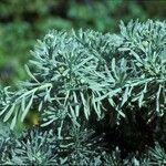 Tournefortia gnaphalodes