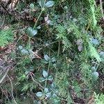 Rubia peregrina Habitat