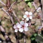 Prunus cerasifera 花