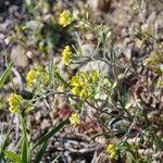 Alyssum linifolium